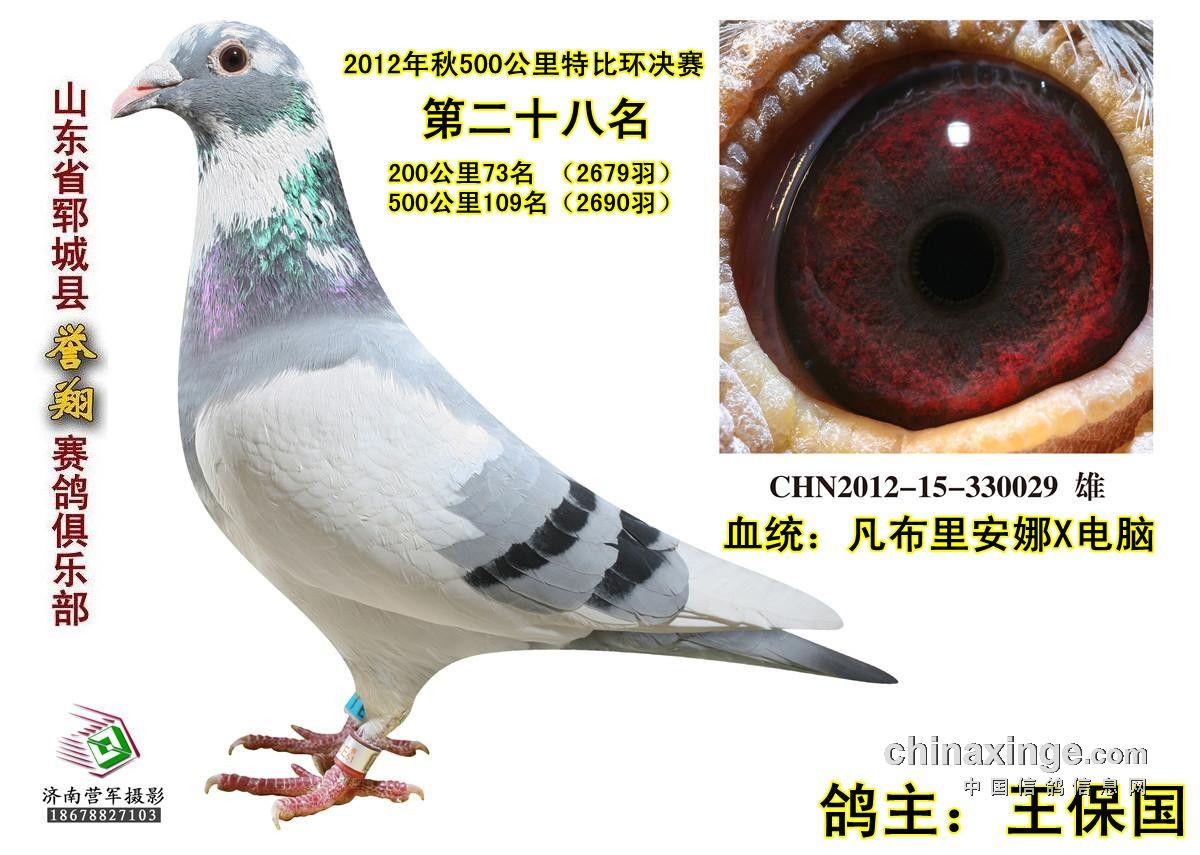 动物 鸽 鸽子 教学图示